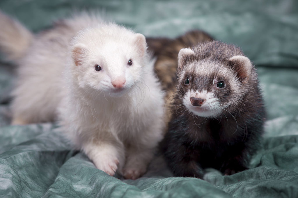 Two small ferrets